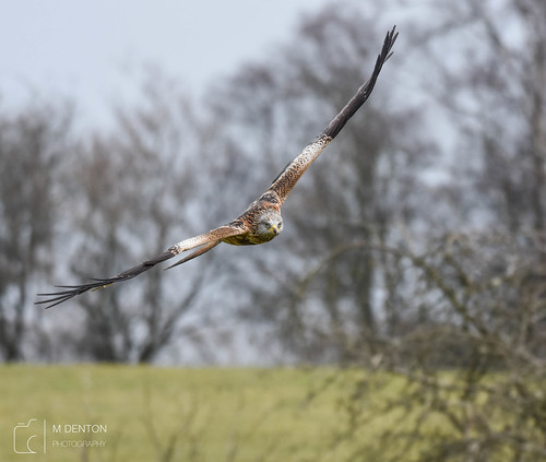Red Kite coming in hot