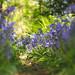 Through the Bluebells