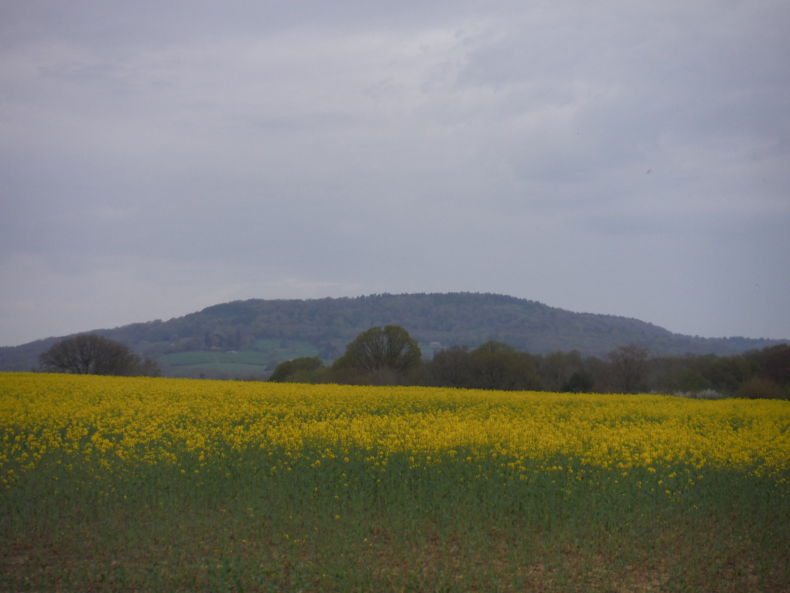 Black Down across Rape Oil Seed field SWC Walk 48 Haslemere to Midhurst (via Lurgashall or Lickfold)