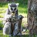 Hyper baby lemur