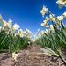 Flowerbulbs 4 - Daffodil by Manuel Speksnijder