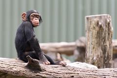 Little Chimp on a Log