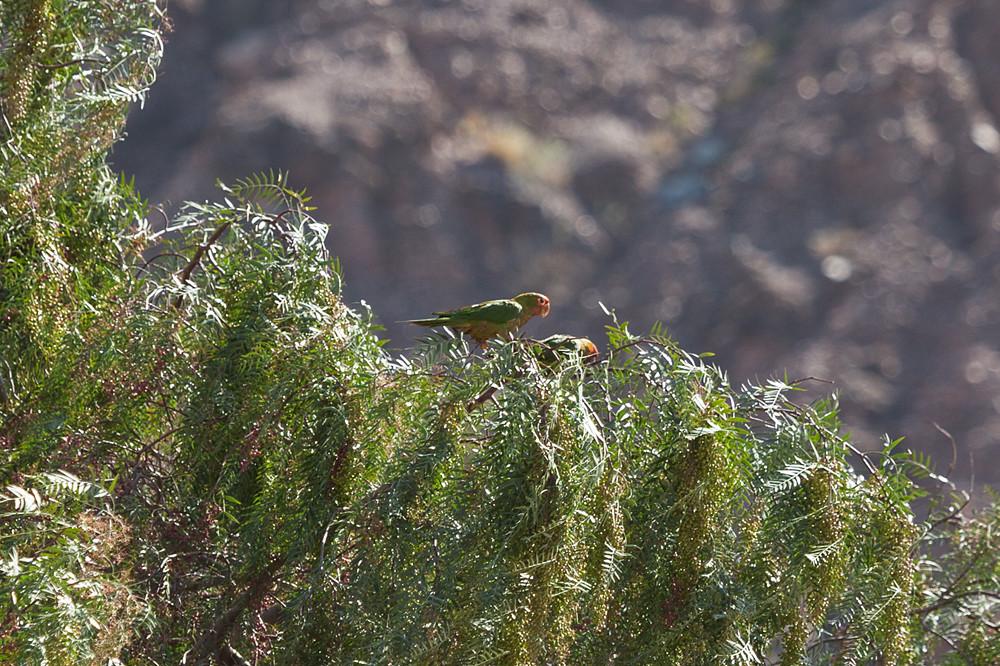 Краснолицая аратинга (Psittacara mitratus)