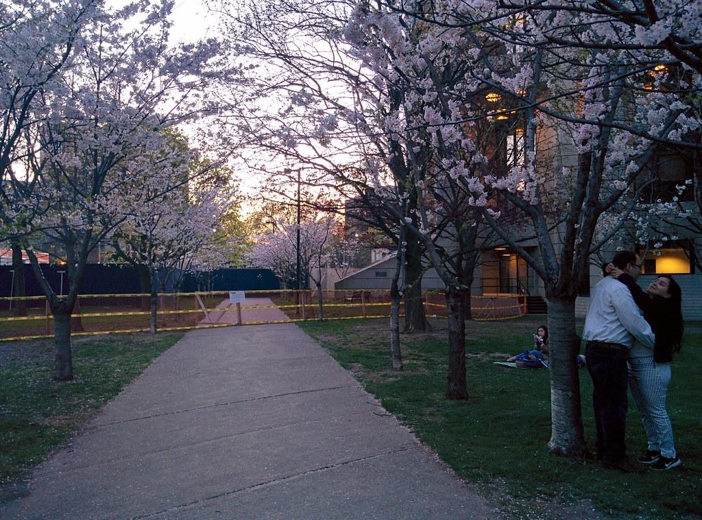 Sakura of Robarts in twilight (7) #toronto #sakura #cherryblossom #universityoftoronto #robartslibrary #harbordstreet #latergram