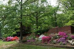 Azaleas in bloom, US National Arboretum