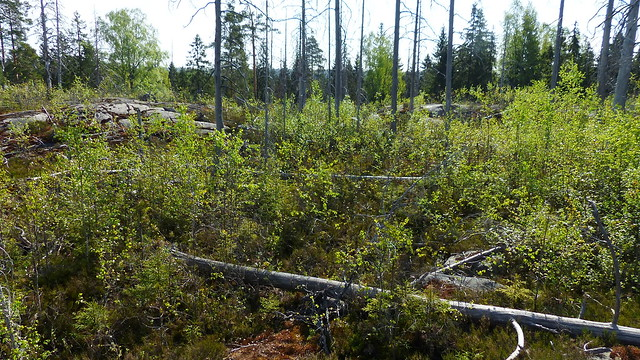 Burnt pine forest (Nuuksio national park, Velskola, Espoo, 20180514)