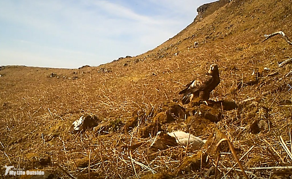 Golden Eagle on trail-cam