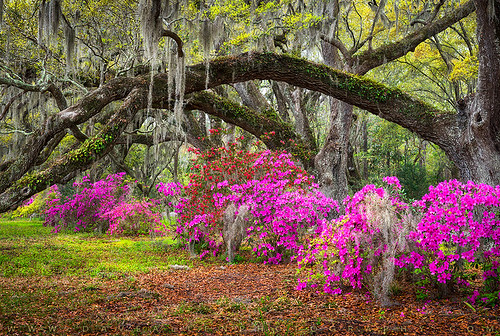 charleston southcarolina sc azaleas spring flowers oak trees lowcountry springflowers magnolia south azaleaflowers carolina plantation liveoaks spanishmoss scenic outdoors nature outdoorphotographer