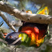Rainbow Lorikeet by BWJones