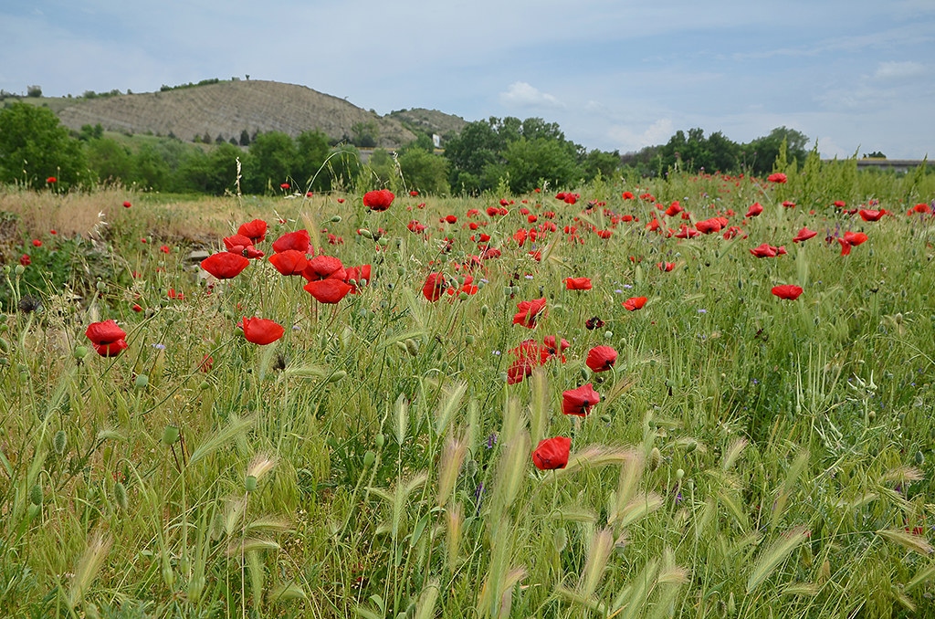 Poppies 01
