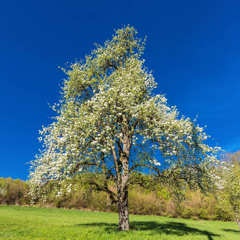 Kirschblüte_Eggenertal_2_074