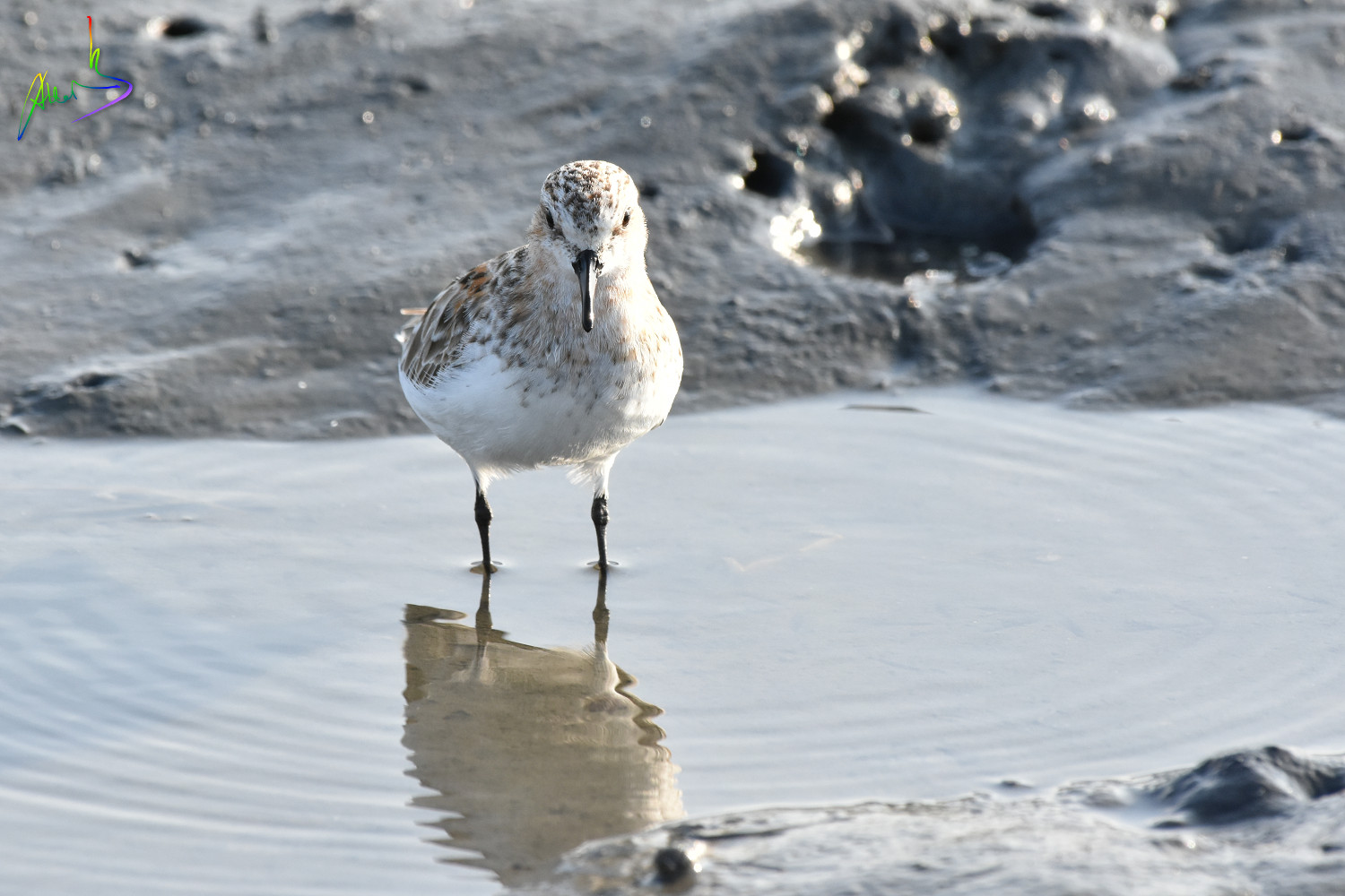 Red-necked_Stint_1705