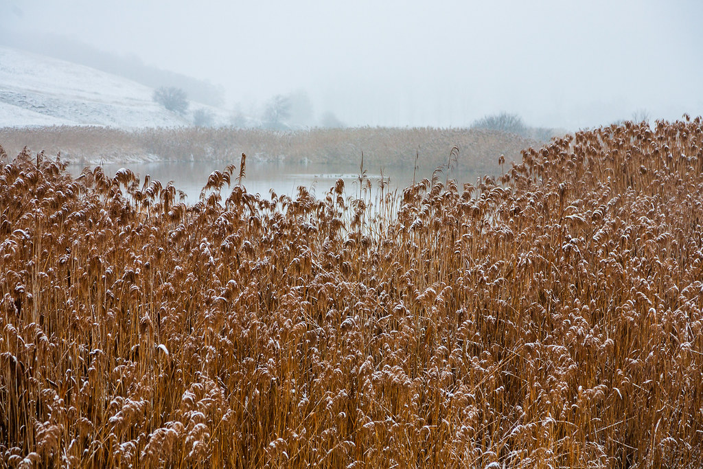 Reeds surround a lakeshore in winter