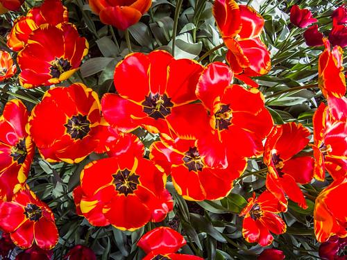 Skagit Valley Tulips-175