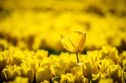 Skagit Valley Tulips-230