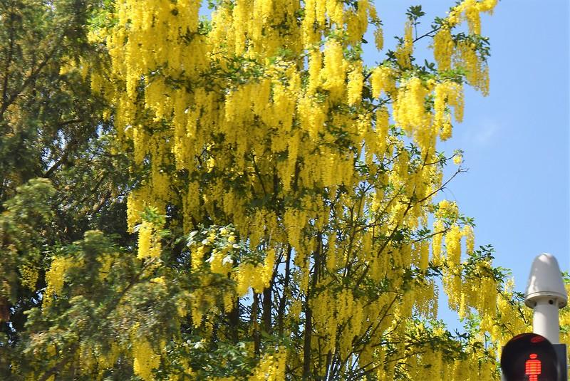 Laburnum Tree 11.05.2018