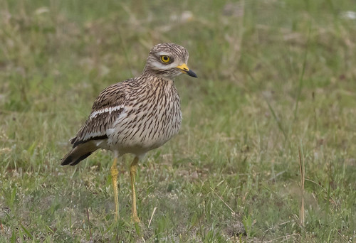 stonecurlew (2)