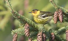 Cape may Warbler 作者 sspike@rogers.com