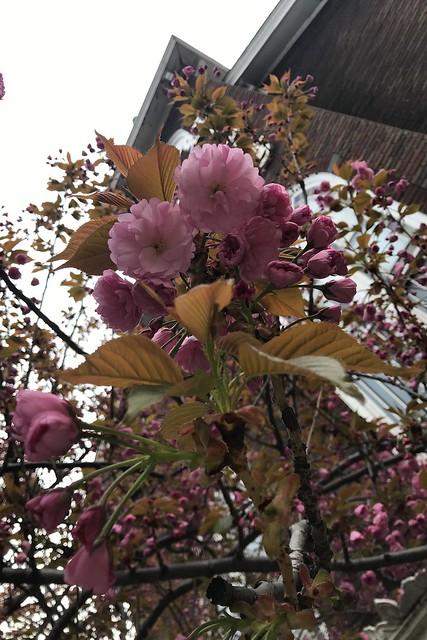 土, 2018-04-28 08:32 - Kanzan Cherry 八重桜カンザン
