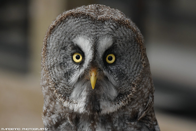 Great Grey Owl - Falconry Fair