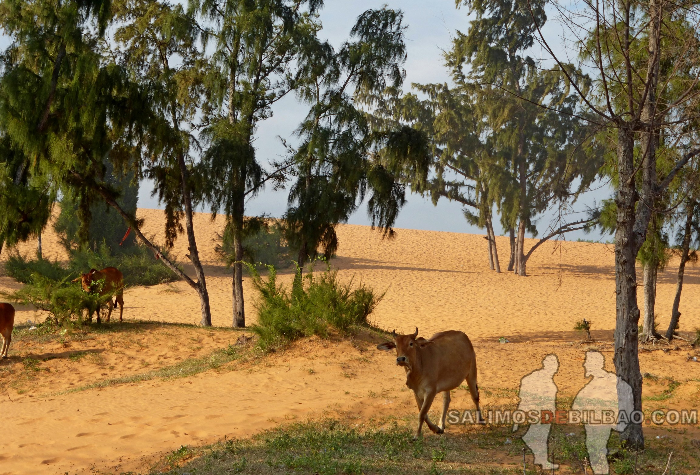 1315. Vacas, Dunas rojas, Mui Ne
