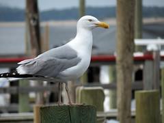 watching gull
