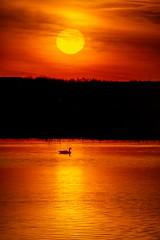 Canada Goose at Sunrise