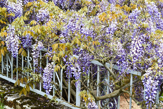 Wisteria at Manoir de Malagorse, France #wisteria #travel #france