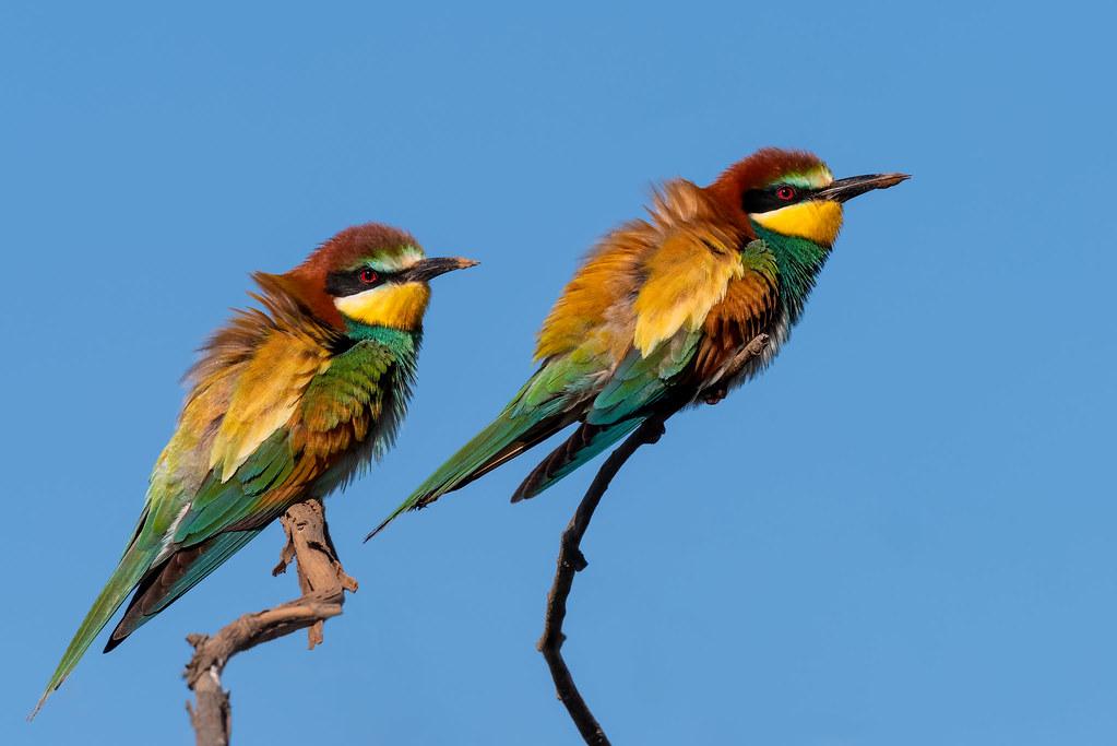 European Bee Eaters - Abelharucos - Merops apiaster