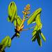 Horse chestnut flower, opening