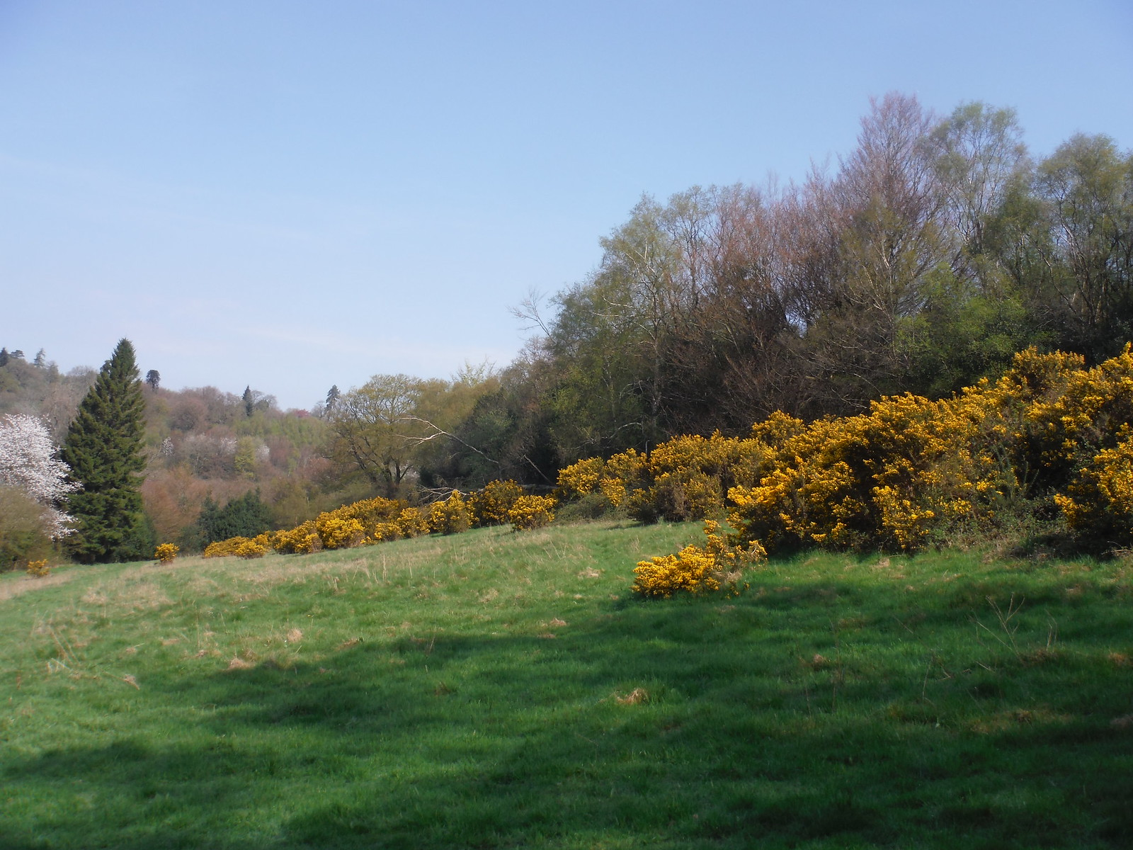 Gorse on climb up to Black Down SWC Walk 48 Haslemere to Midhurst (via Lurgashall or Lickfold)