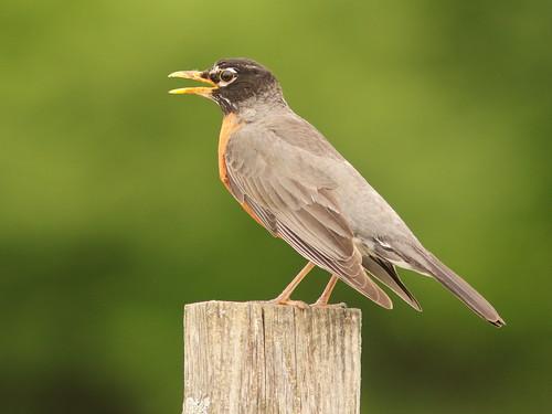 American Robin 02-20180515