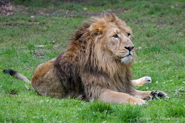 Lionking?