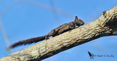 Variegated squirrel - Ardilla centroamericana - Sciurus variegatoides