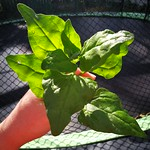 New Zealand spinach