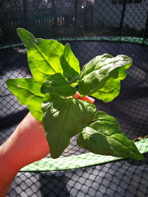 New Zealand spinach seeds belonging to Skud