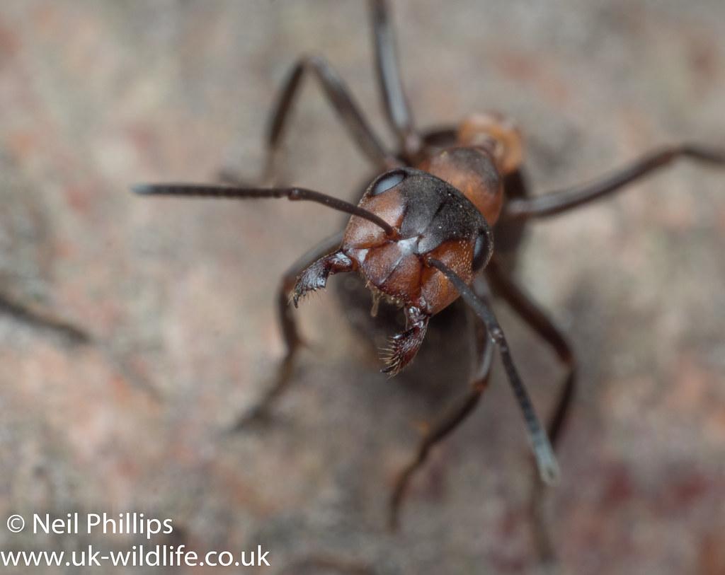 Wood ant-5