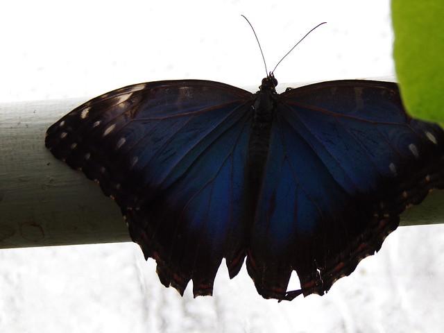 HortusButterflies5