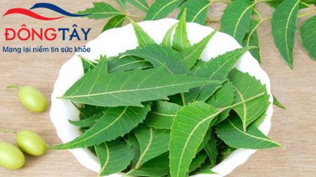Lá neem – vị thuốc nam trị tiểu đường được sử dụng phổ biến