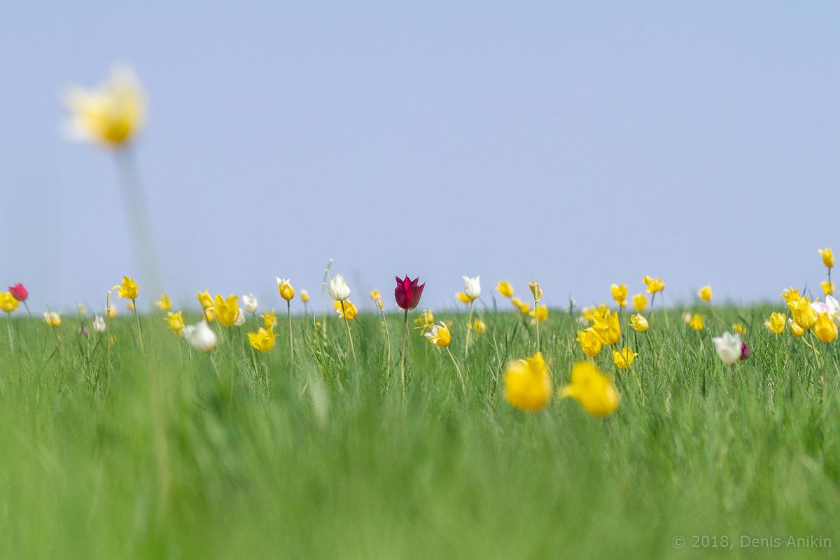 тюльпаны иваново поле фото 10
