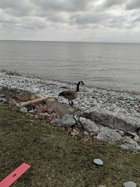 Canada goose by Lake Ontario