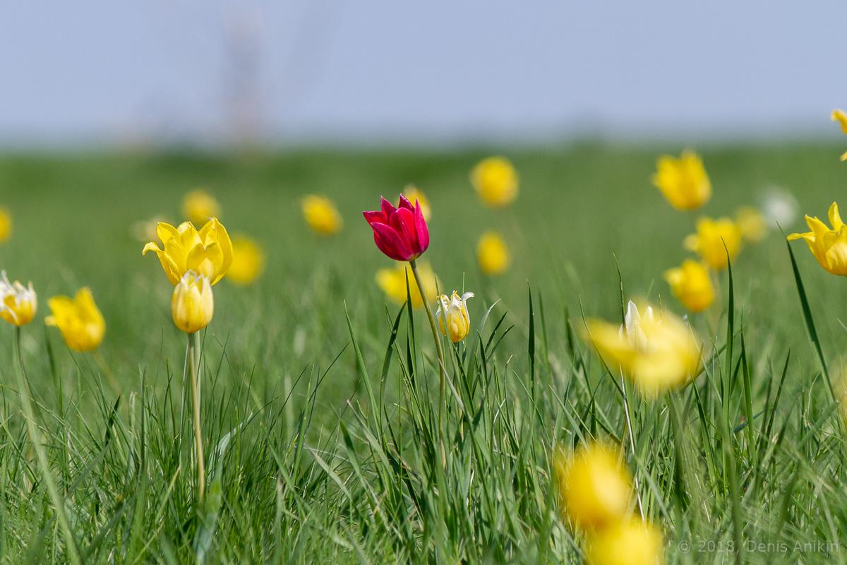 тюльпаны иваново поле фото 6