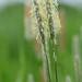 Græs-familien (Poaceae)-1496