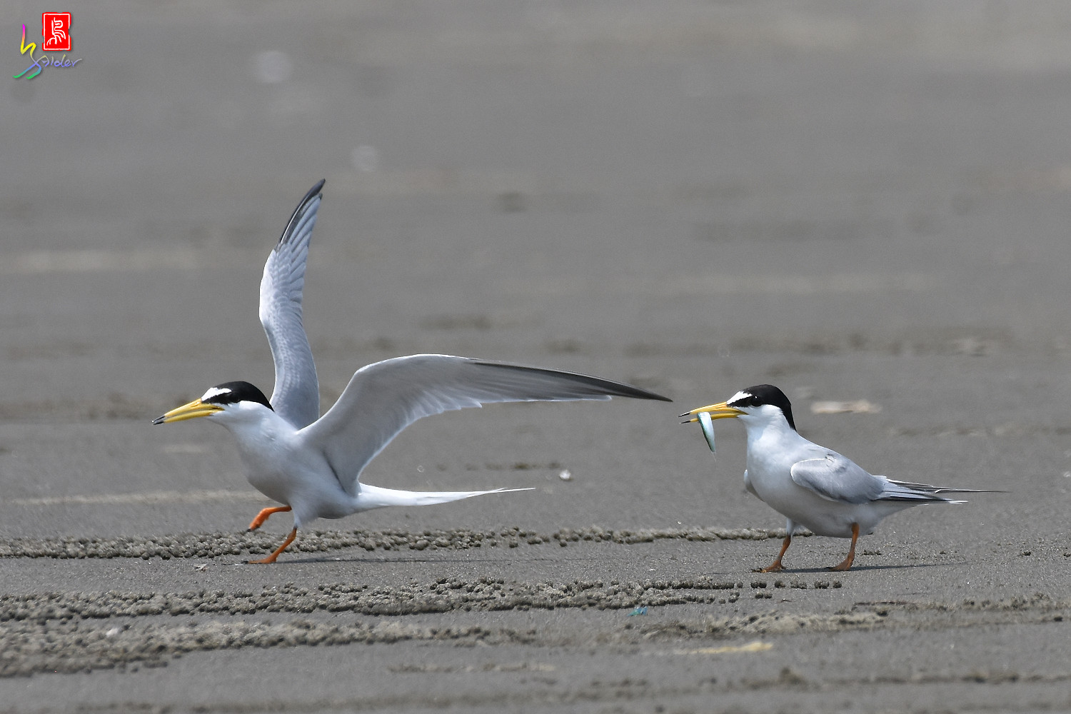 Little_Tern_4938