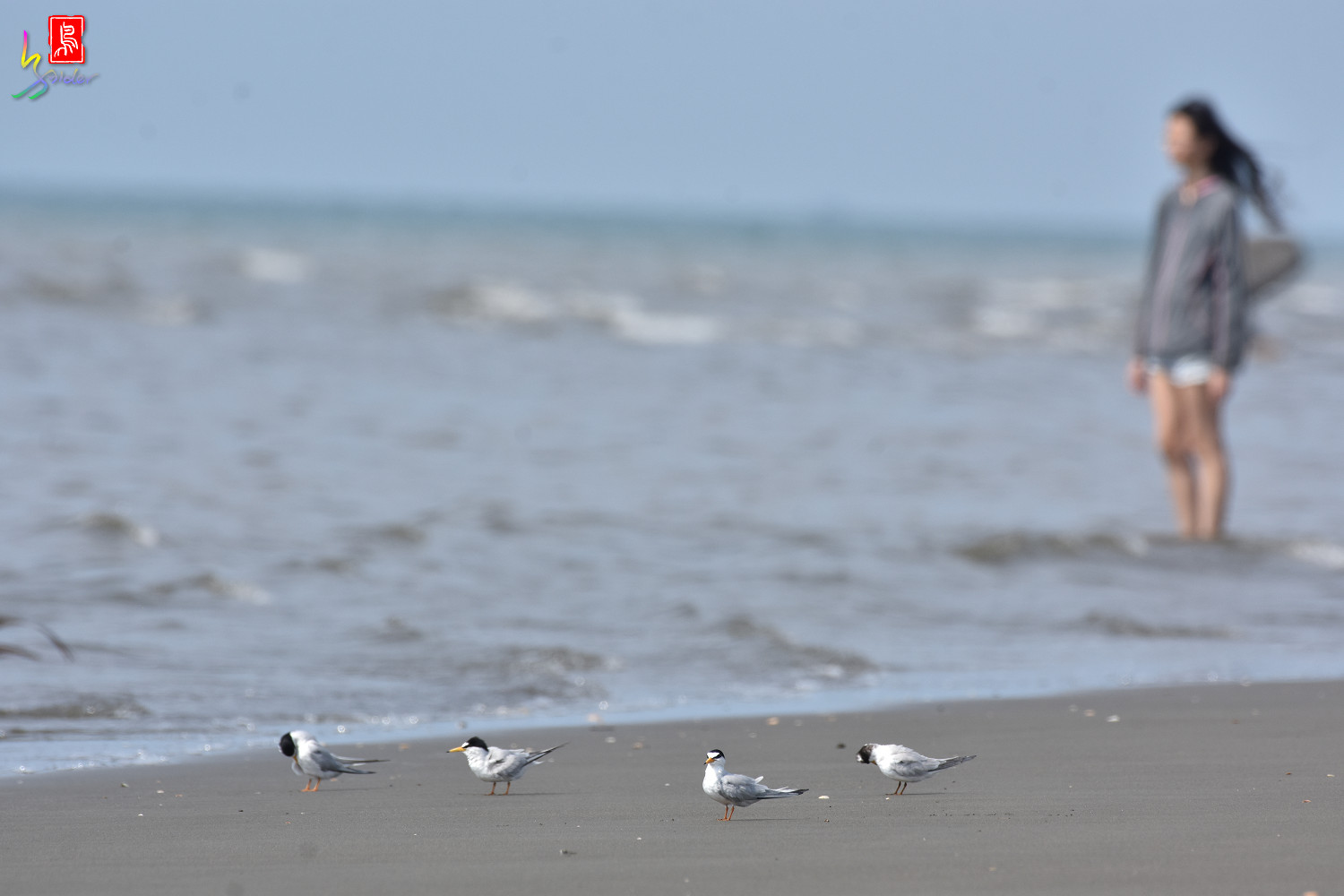 Little_Tern_4016