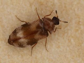 Trogoderma angustum (Dermestidae)