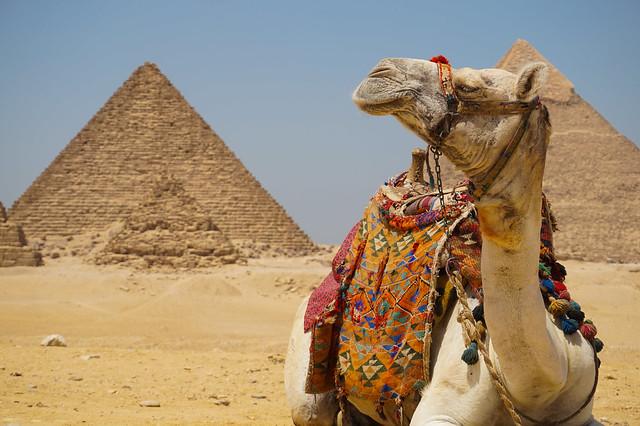 Camel in Giza