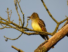Great Crested Flycatcher in Greenbelt Park
