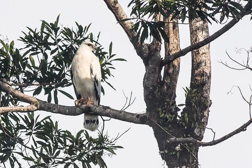 White Hawk (Pseudastor albicollis)