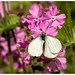 Large White on Red Campion.